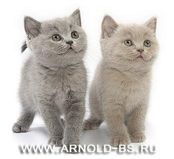 Британские котята от Чемпиона Мира.
