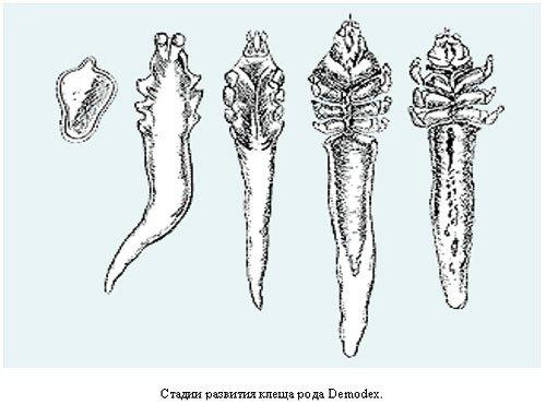 Лечение демодекоза у собак, у кошек, у человека.  Демодекоз - это часто встречаемое паразитарное заболевание кожи.