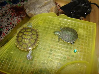 Ветеринарный форум - красноухая черепаха в спячку впадает или умирает? Очень надо знать! Что с ней. - Вопросы герпетологу (Специ