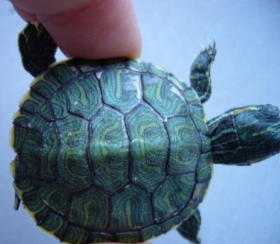 Шелушится панцирь у красноухой черепахи