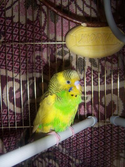 Волнистый попугай всегда