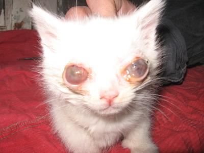 Если у котенка гной на глазах что делать