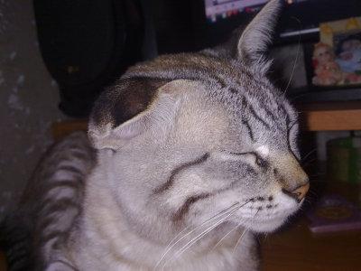 Малое ухо у кота