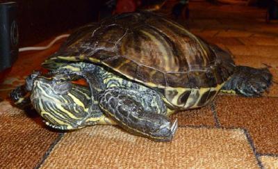 У красноухой черепахи опухло возле лап и шеипомогите!
