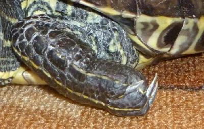Отит красноухой черепахи фото