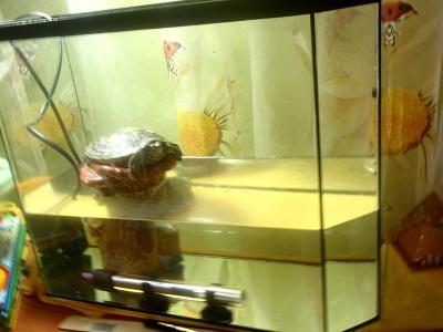 Ветеринарный форум - У красноухой черепахи не открывается рот - Вопросы герпетологу (Специалисту по рептилиям)