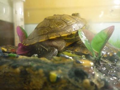 Как выглядит беременная красноухая черепаха 31