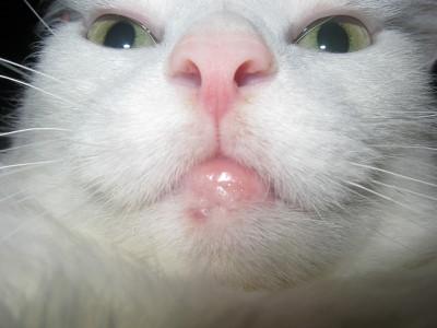 Воспалилась губа у кота