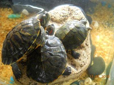Ветеринарный форум - болят глаза у красноухой черепахи - Вопросы герпетологу (Специалисту по рептилиям)
