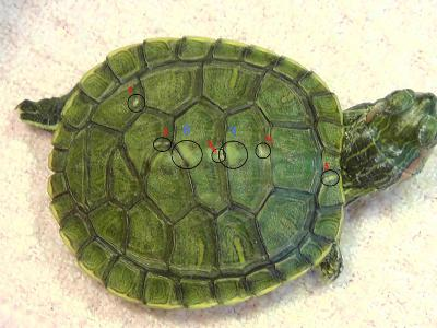 Как лечить черепаху от грибка в домашних условиях