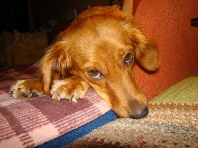 стафилококк у собак лечение