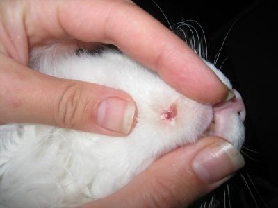 Как лечить акне у кошки в домашних условиях