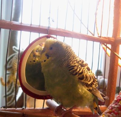 Как лечить волнистого попугая он весь нахохлился