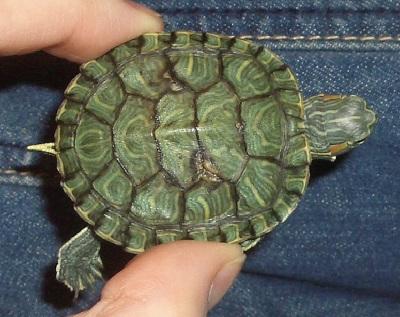 Красноухие черепахи на спине