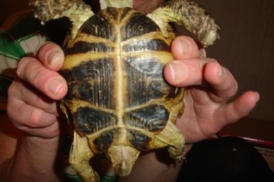 Член черепахи