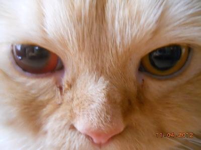 У кота течет кровь из глаз