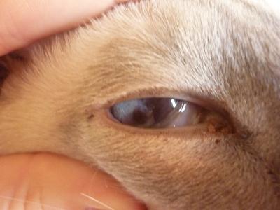 задние ваз черное нёбо у кошки запах изо рта