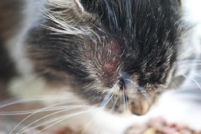У кота шишка над глазом