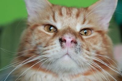 Кот с грязным носом