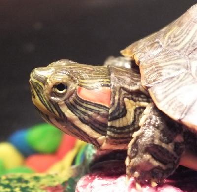 Ветеринарный форум - Помогите, пожалуйста, моей красноухой черепашке. Странная реакция на антибиотики. - Вопросы герпетологу (Сп