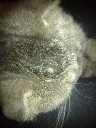 Появились шишки у кота