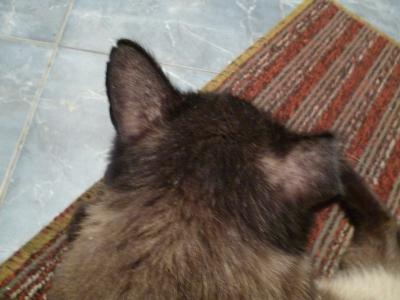 Почему у кошки выпадает шерсть на ушах