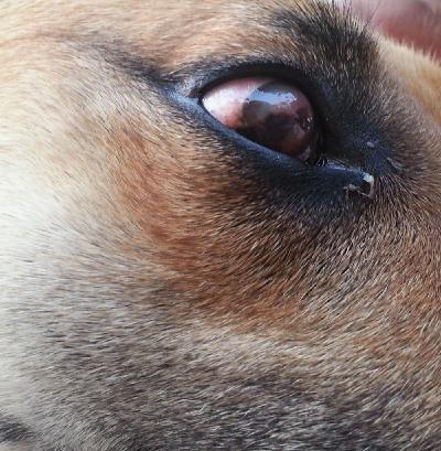 Почему у немецкой овчарки слезятся глаза