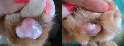 Ранки на подушечках лап у кота