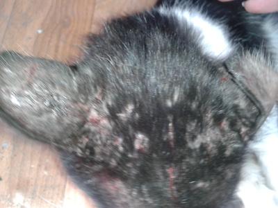 У кота на голове болячки и чешутся