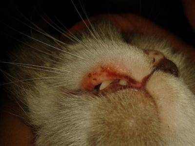У кота опухла губа верхняя