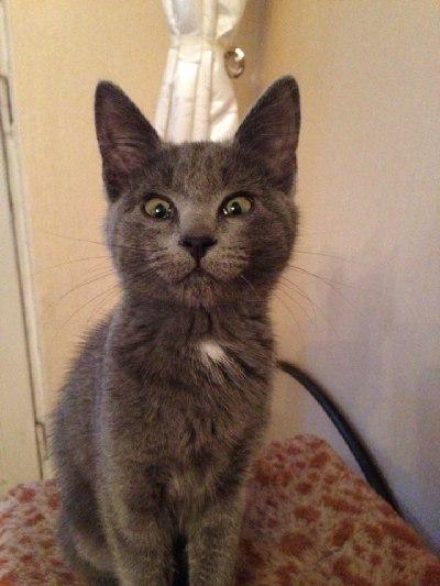 Ветеринарный форум - У котенка 3 месяцев Микоплазмоз. - Вопросы ветеринарному врачу офтальмологу