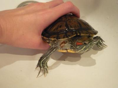 Заболевание черепахи: неоткрывают глаза,лечение