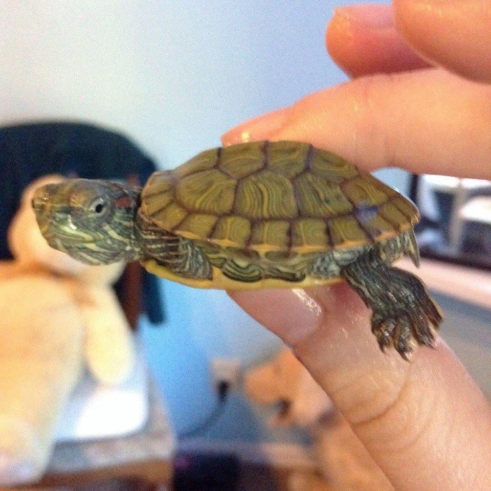 Мягкий панцирь у красноухих черепах как лечить