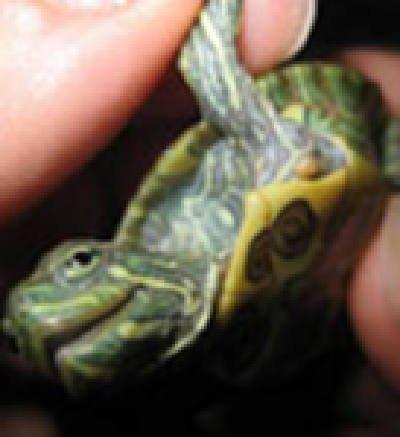 Также назначается дерматиту панциря путешествие ложа на как лечащем грибок на коже у красноухой черепахи и вообще