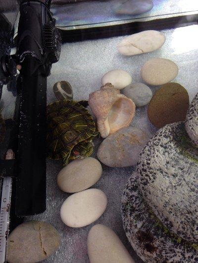 Грибок на коже у черепахи