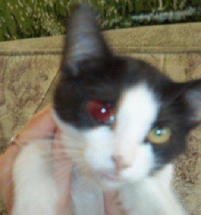 Что делать если у кота из глаза кровь