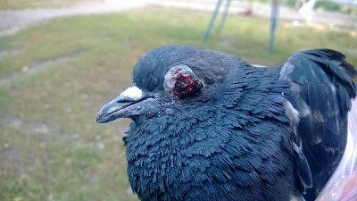 Что делать с подобранным голубем