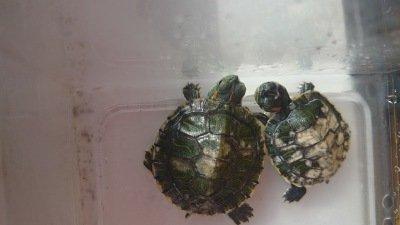 Как лечить грибок на панцире у красноухой черепахи