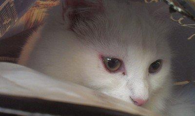 Покрасневшие глаза кота