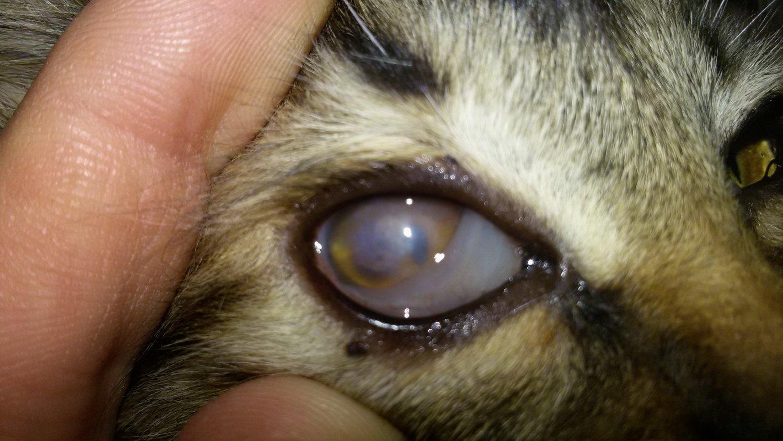 Как вылечить глаз у котенка в домашних условиях 330