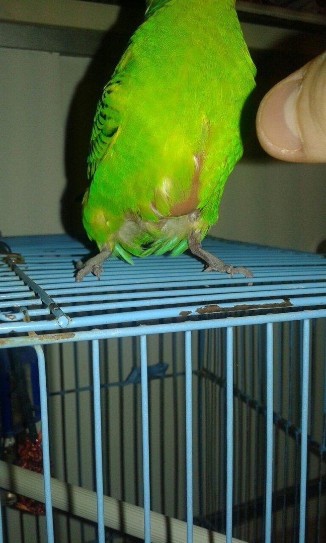 Болезни волнистых попугайчиков симптомы и лечение