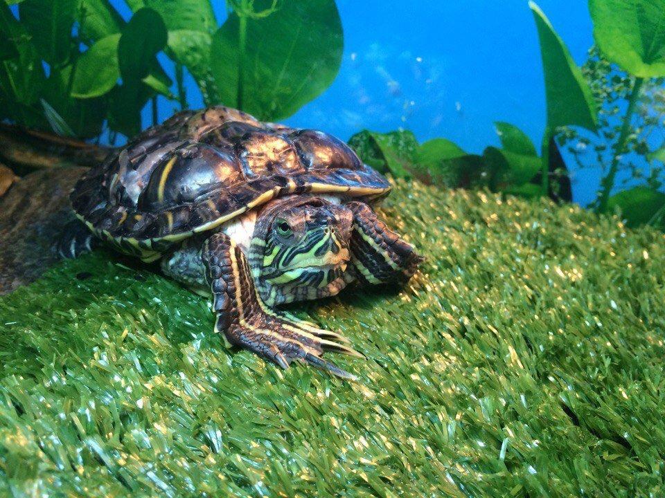 Красноухая черепаха постоянно спит