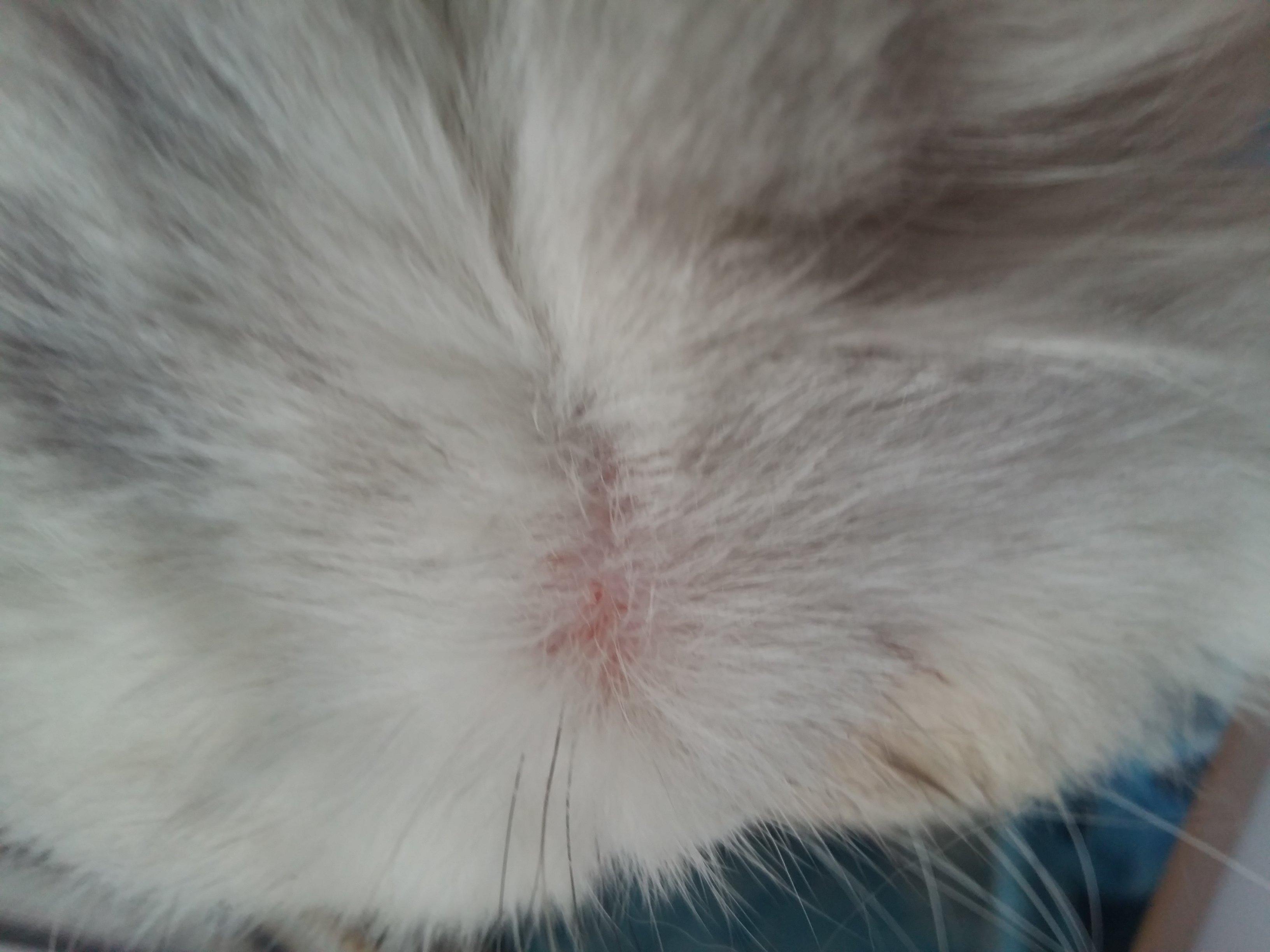 пятна на коже у кошек фото