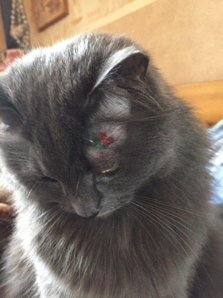 Кот расчесал над глазом