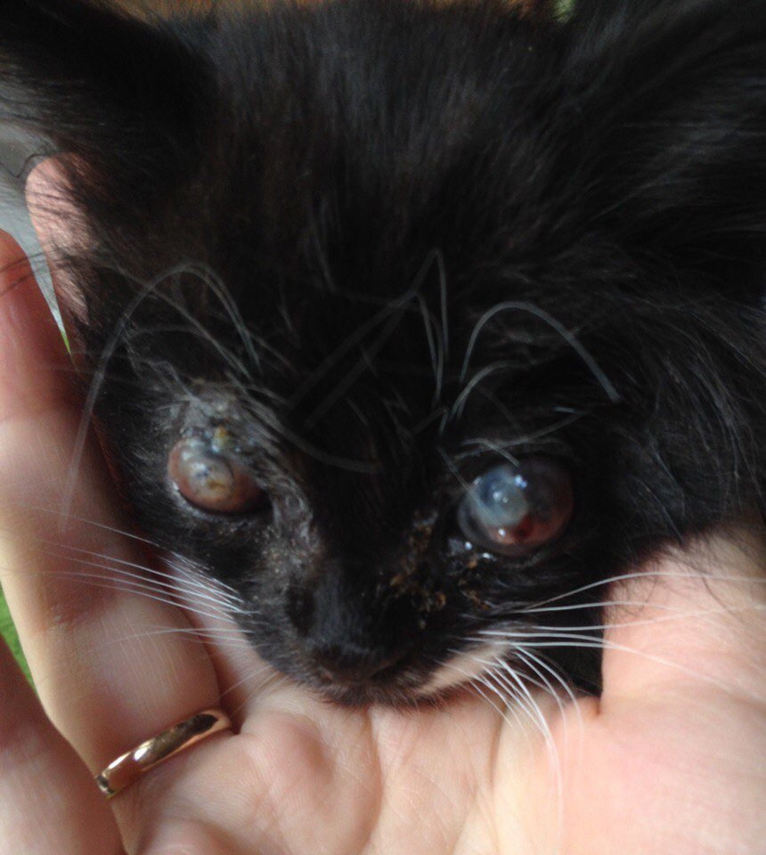 От чего воспаляются глаза у кошек в домашних условиях