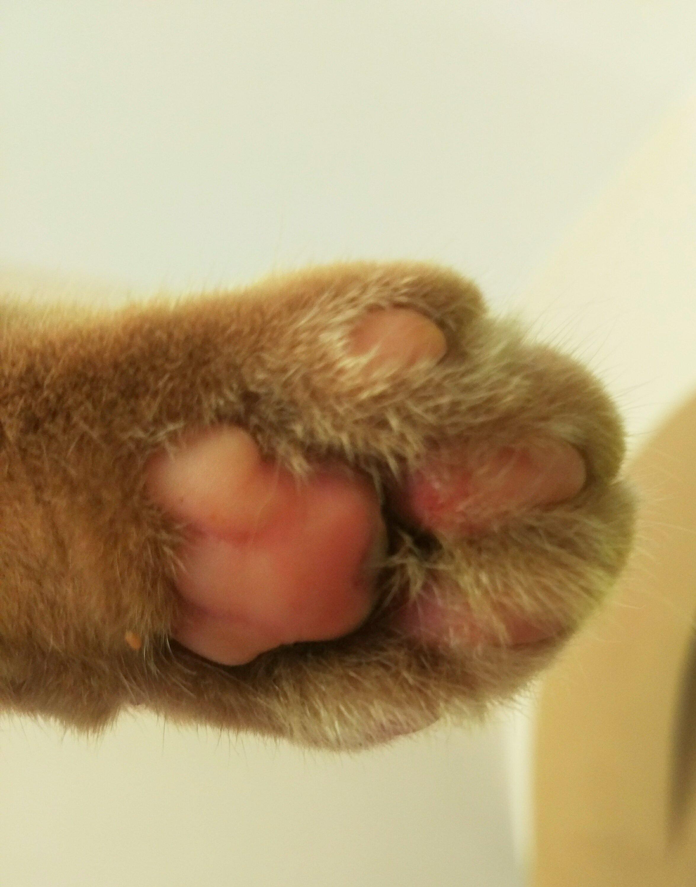 Если у кота опухли подушечки