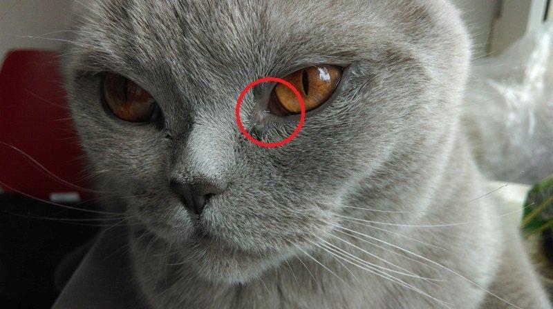 У кошки слезятся глаза что делать в домашних условиях 790