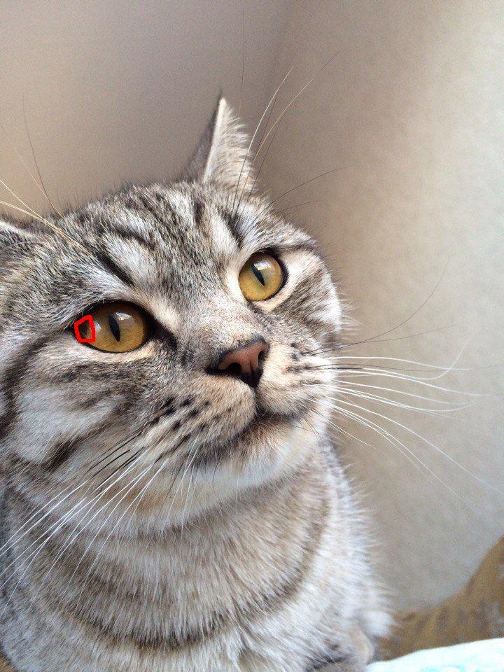 У кота в глазу красное пятно