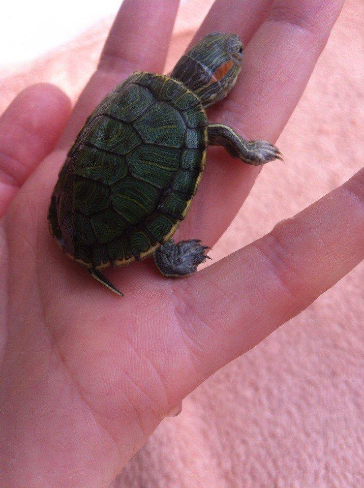 Красноухие черепахи слышат