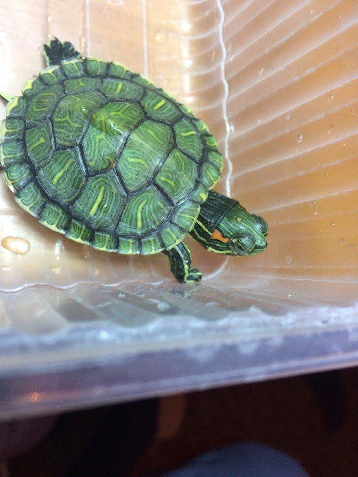 Как лечить грибок у красноухих черепах